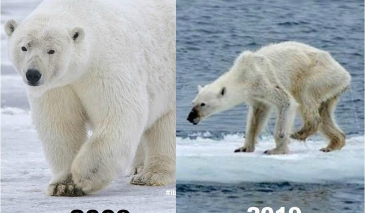 UnBEARable Threat: Starving Polar Bears Invade Russia